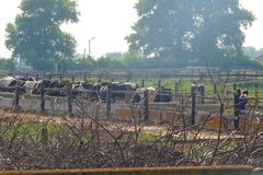 Farm with cows. Cows in a farm. Dairy cows. Cowshed Royalty Free Stock Image