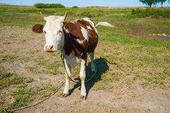 Cows in a farm. Dairy cows stock images