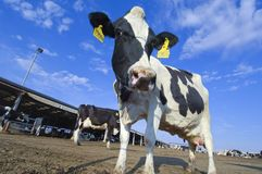 Cows in a farm of dairy plant on a sunny day with blue sky Royalty Free Stock Image
