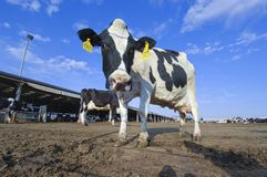 Cows in a farm of dairy plant on a sunny day with blue sky Royalty Free Stock Photo