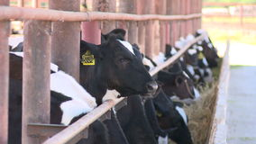 Cows on the farm2 stock video footage