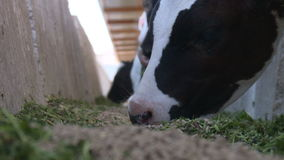 Cows on the farm8 stock video footage