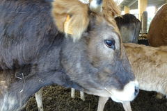 Cows from a farm in detail Royalty Free Stock Photos