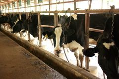 Cows on Farm Royalty Free Stock Photography