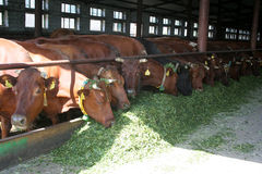 Cows on the farm. Eating fresh cut grass Royalty Free Stock Photos