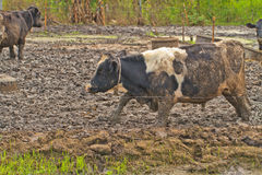 Cows at farm Royalty Free Stock Images