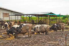 Cows at farm Royalty Free Stock Photography