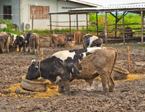 Cows at farm Stock Photo