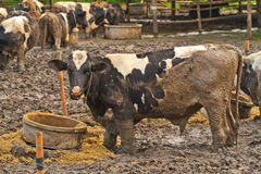 Cows at farm Royalty Free Stock Photo