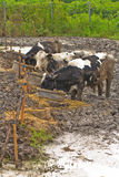 Cows at farm Stock Photography