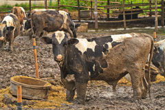 Cows at farm Royalty Free Stock Image