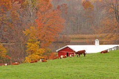 Cows on farm in Fall upstate NY Stock Images