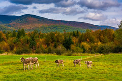 Cows in a farm field and autumn color in the White Mountains nea Stock Photography