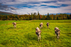 Cows in a farm field near Jefferson, New Hampshire. Stock Photos
