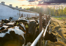 Cows on the farm Stock Photography