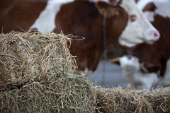 Cows on a farm Stock Images