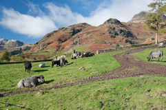 Cows on a farm in langdale Stock Photos