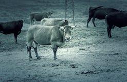 Cows in farm Stock Photos