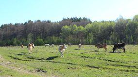 Cows on the farm pasture stock video