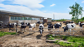 Cows on farm at summer day Stock Image