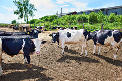 Cows on farm at summer day Royalty Free Stock Image