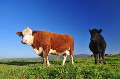 Cows farm Stock Photo
