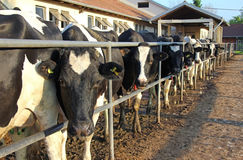 Cows on a farm Royalty Free Stock Photography