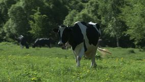 Cows on the farm yard. Cows grazing near the farm yard stock video