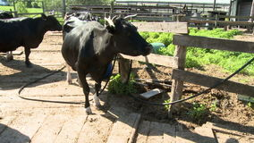 Cows on the farm yard. Cows grazing near the farm yard stock footage