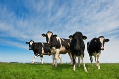 Cows on on farmland Royalty Free Stock Photo