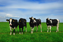Cows on farmland Stock Image