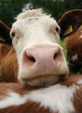 Cows on farmland Stock Photography