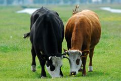 Cows on farmland Royalty Free Stock Image
