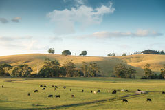 Cows on farmland in Australia Stock Images