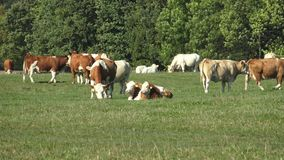 Cows on a farmland. Cows standing. Side by side in a green meadow stock video footage
