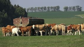 Cows on a farmland. Cows standing. Side by side in a green meadow stock video