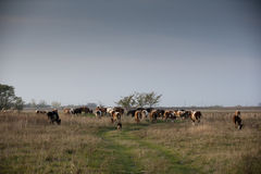 Cows on farmland Stock Photography