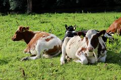 Cows. Fat cows enjoying the warm weather and laying on the grass royalty free stock photo