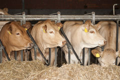 Cows feed in a stable. Brown cow feed with hay in a stable on a farm Stock Photography