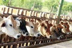 Cows feeding Stock Photos
