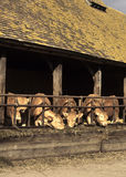 Cows Feeding Royalty Free Stock Images