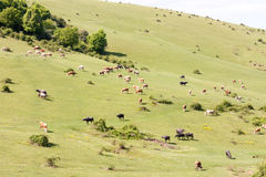 Cows feeding on ecological meadow in Romania. On a sunny day Stock Photography