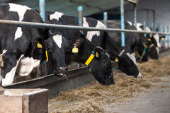 Cows feeding in large cowshed Royalty Free Stock Image