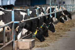 Cows feeding in large cowshed Stock Photography