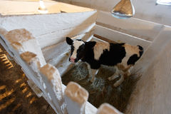 cows feeding in large cowshed Royalty Free Stock Photo