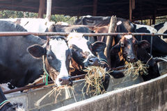 Cows feeding in large cowshed Stock Photo