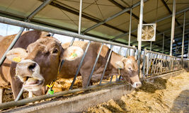 Cows feeding Royalty Free Stock Image