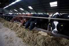 Cows in feeding place. Many cows feeding in large cowshed Royalty Free Stock Photo