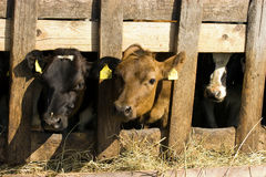Cows in feeding place Stock Photos