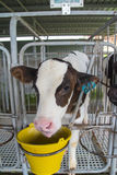 Cows feeding in small cowshed Stock Photo